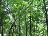 Leaner tree