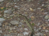 Eastern timber rattlesnake