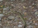 Eastern timber rattlesnake