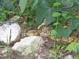 095yellow-phase-rattlesnake-in-southern-pa
