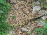 049first-rattlesnake-he-was-huge