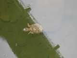 079swimming-turtle