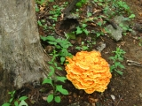 081big-orange-fungus