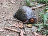 088-box-turtle-i-think