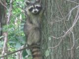 089-raccoon