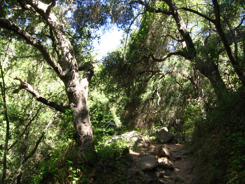 Coastal oaks in Cold Spring Canyon.