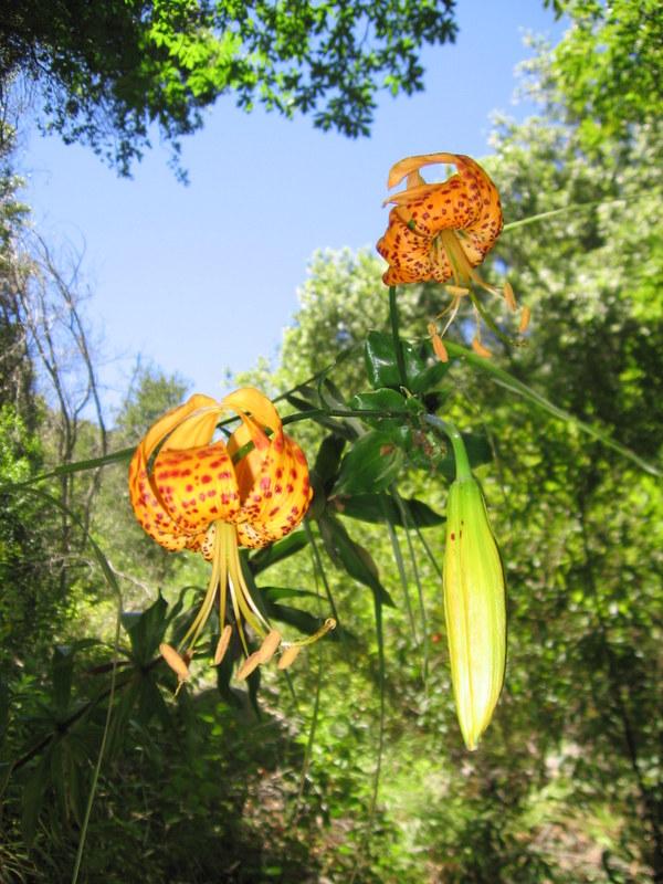 The native Panther lily- Lilium pardalinum