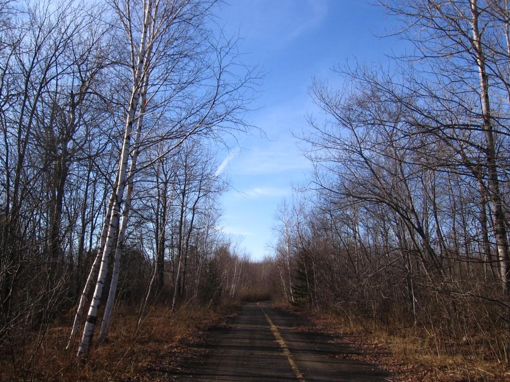 White birch on the trail