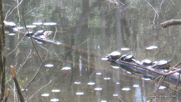 Lake Lenape Painted Turtles