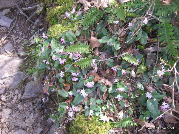 Some Trailing Arbutus and Polypody Ferns growing among the rocks.